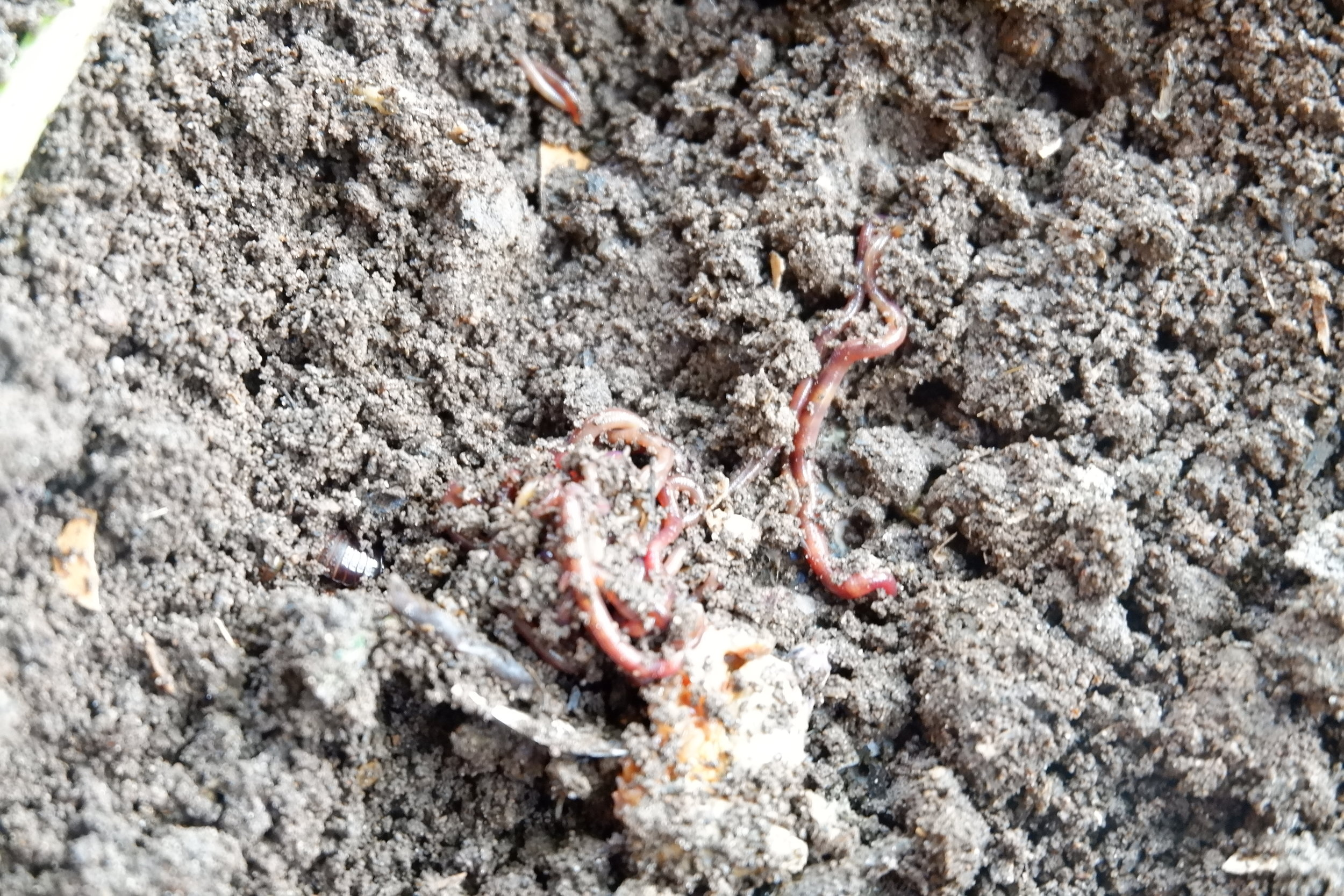 Small worms producing large amounts of super compost.