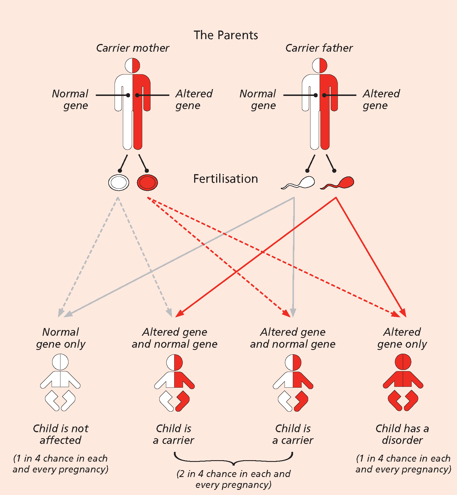 Diagram showing how inheritance of recessive disorders such as Sickle Cell work
