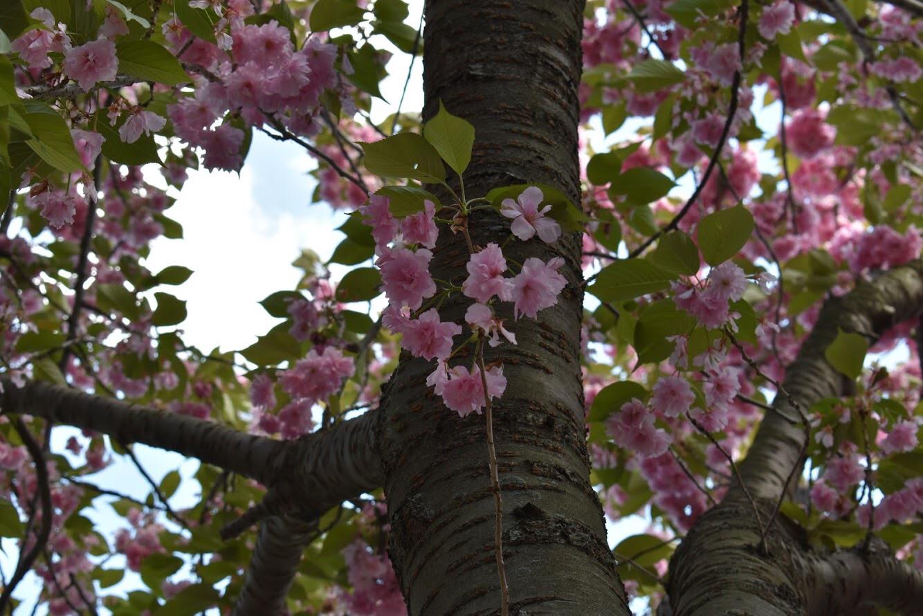Detalhes da Cherry Blossoms