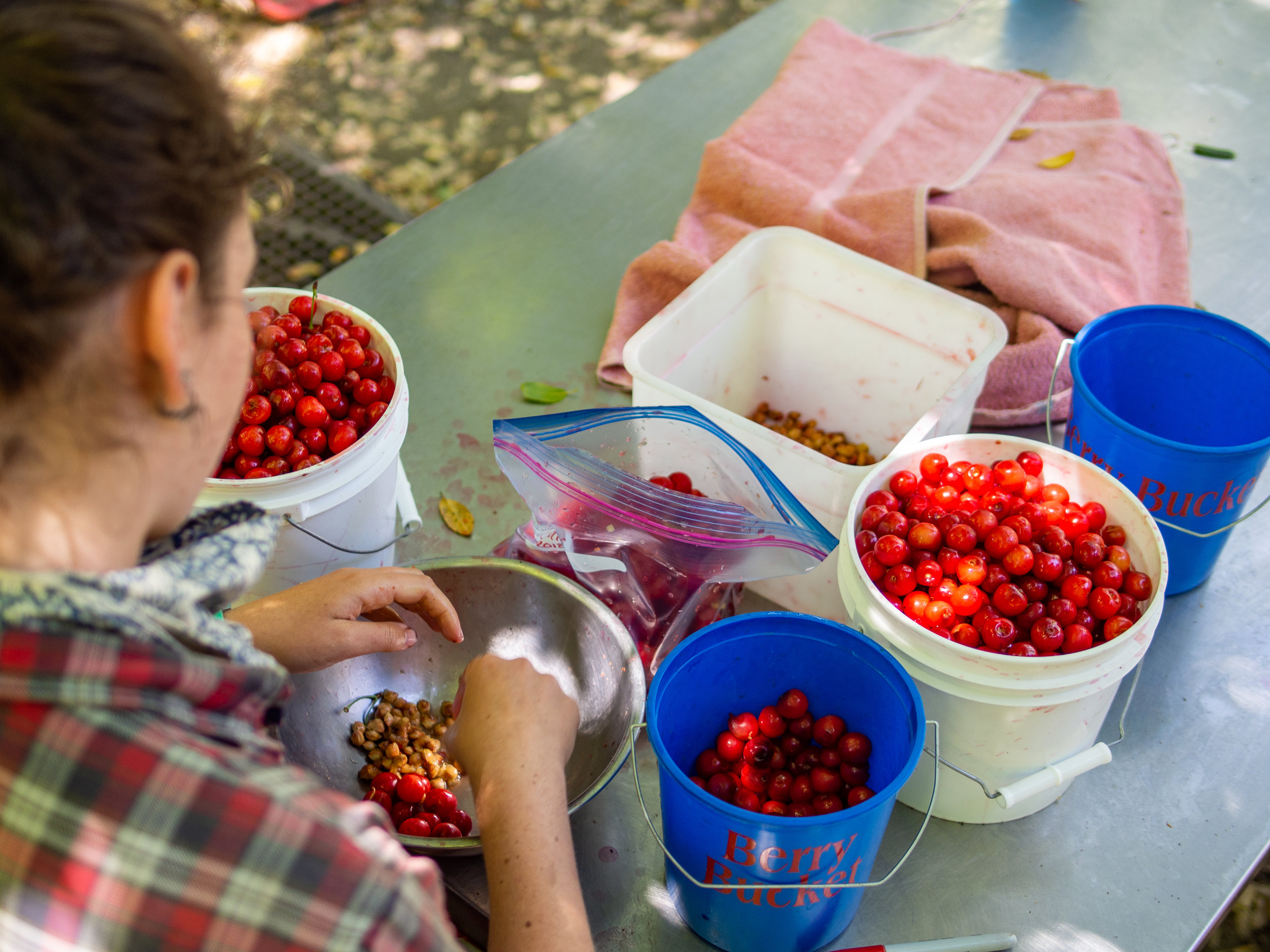 Also, pick fruits and pit thousands of sour cherries for PIE!!!