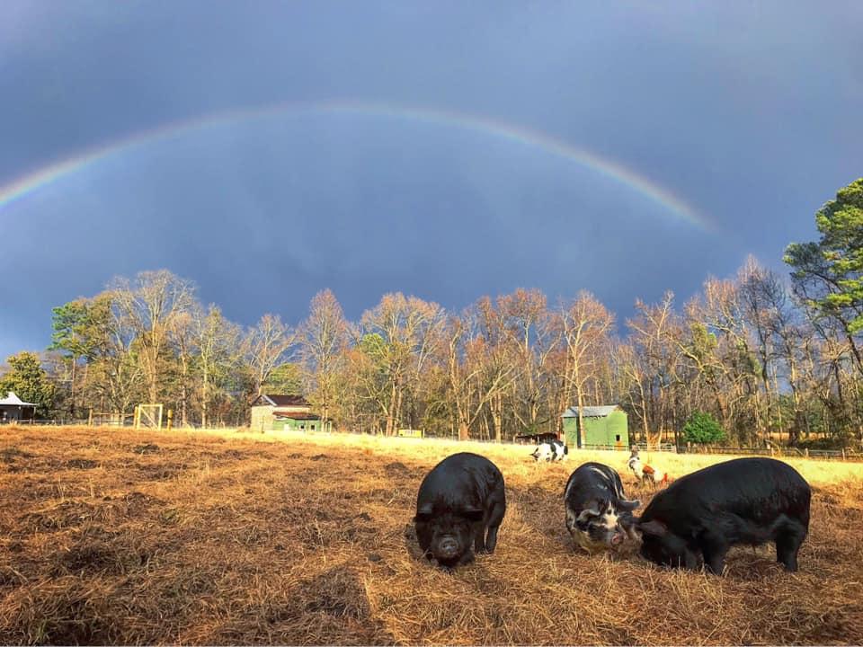 eating pigs.jpg
