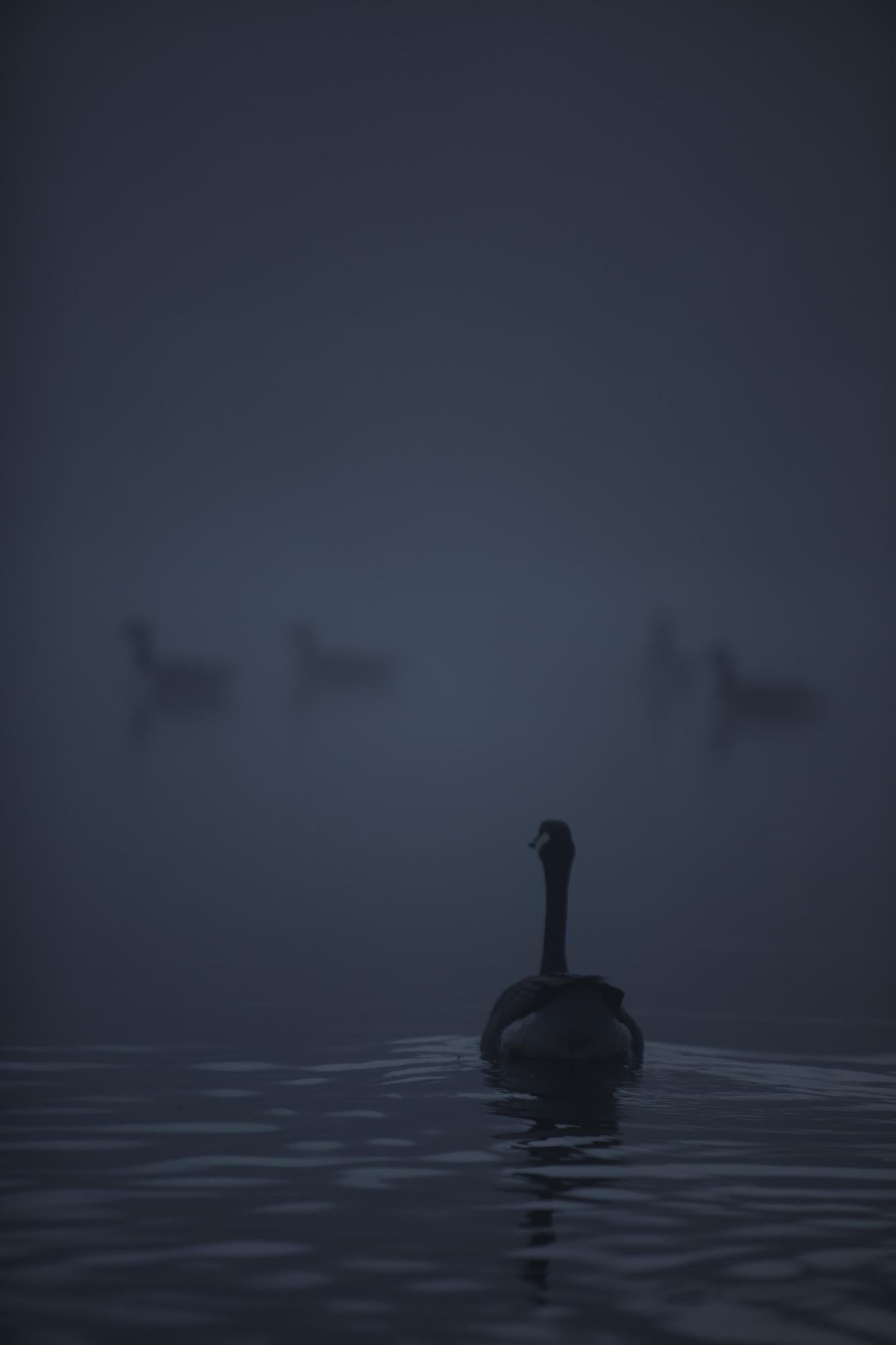 Dark ducks.jpg