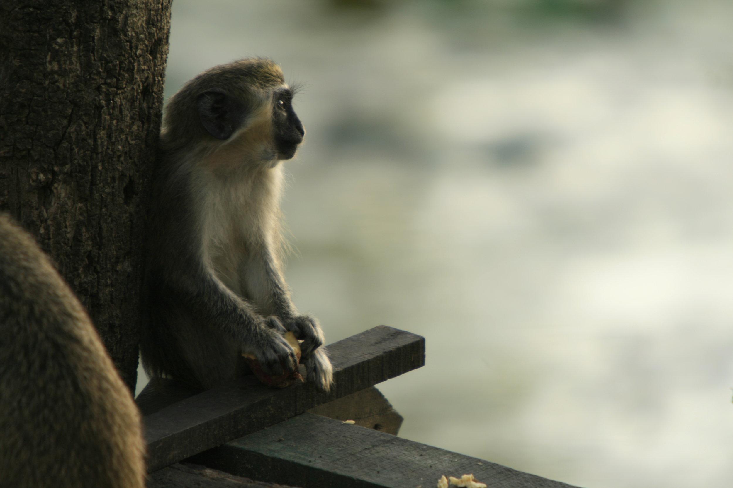 Monkey at La Terrazas, Cuba