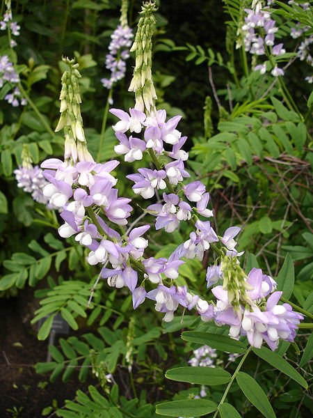 Galega officinalis , the poisonous plant from which guanides were isolated. ( Wikipedia Creative Commons )