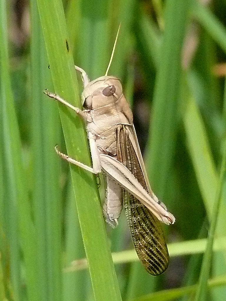 Locusta_migratoria_migratorioides_male.jpg