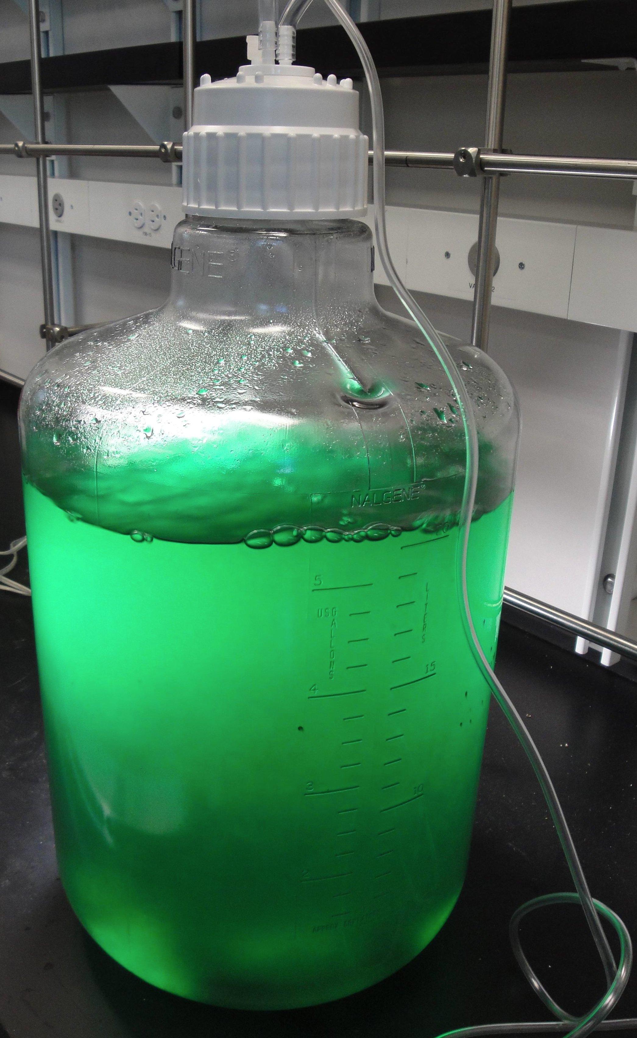 Cyanobacteria+in+carboy.jpg