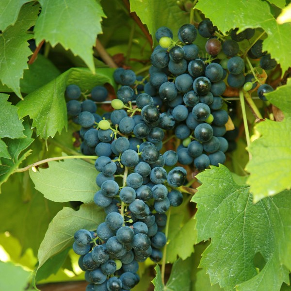 double-a-vineyards-corotnoir2-grapevines.jpg