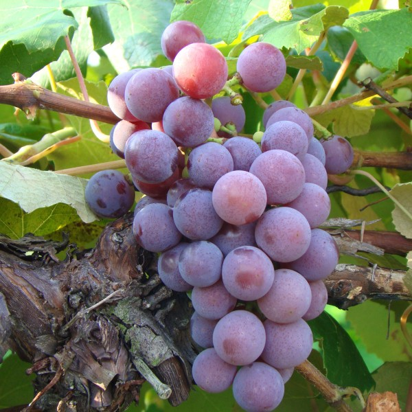 double-a-vineyards-catawba-grapevines_2.jpg