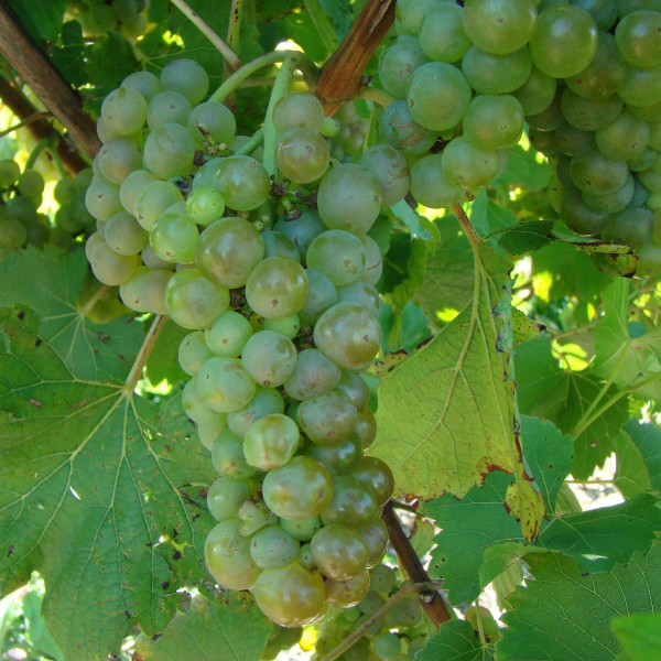 double-a-vineyards-vignoles1-grapevines.jpg