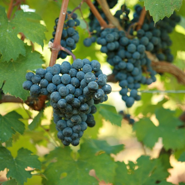 double-a-vineyards-cabfranc-grapevines_1.jpg