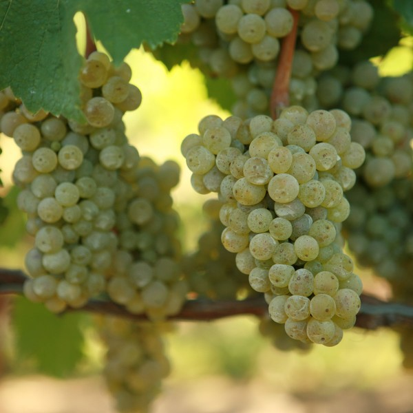double-a-vineyards-reisling2-grapevines.jpg