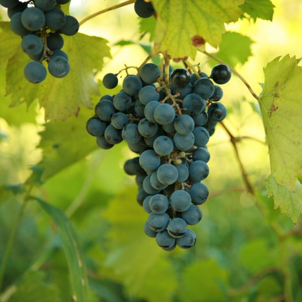double-a-vineyards-chambourcin3-grapevines.jpg