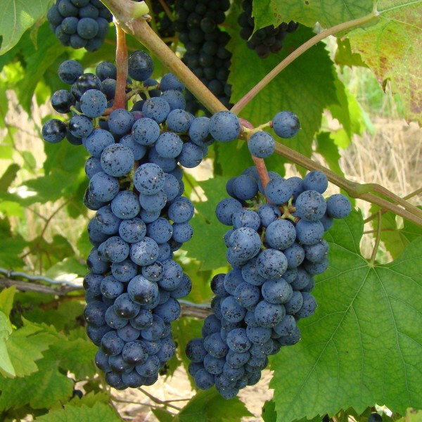 double-a-vineyards-foch2-grapevines.jpg