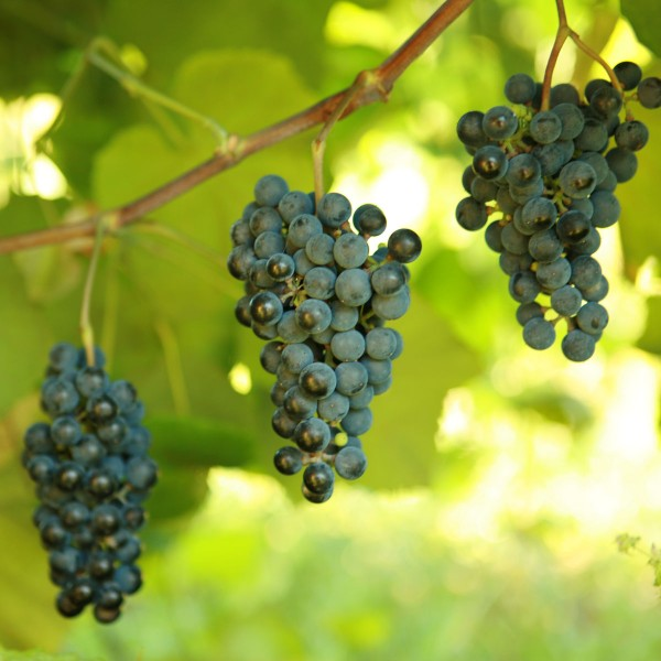 double-a-vineyards-cynthiana3-grapevines.jpg
