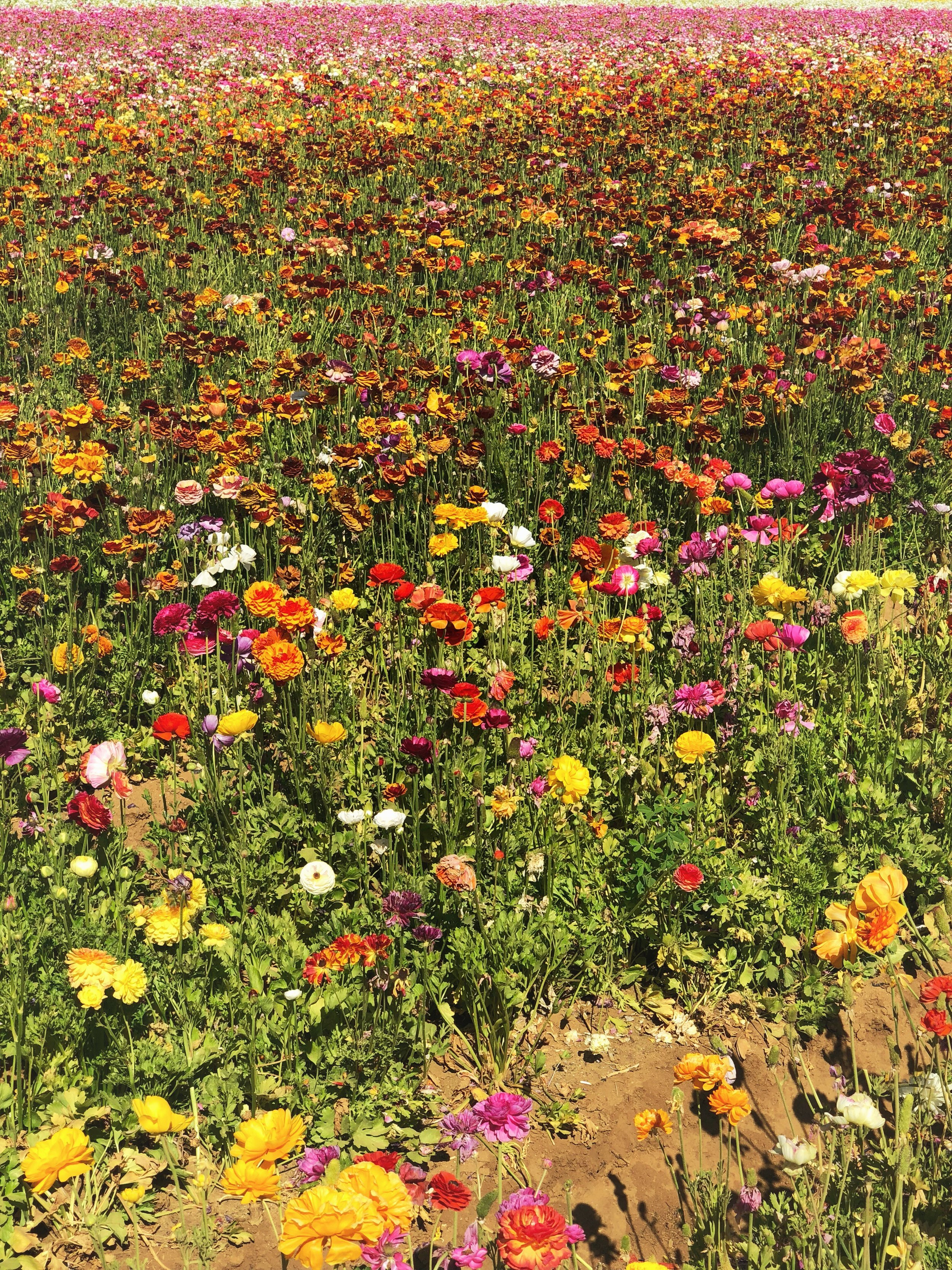 Where we spend our Mother's Day - the Carlsbad Flower Fields, so stunningly beautiful!