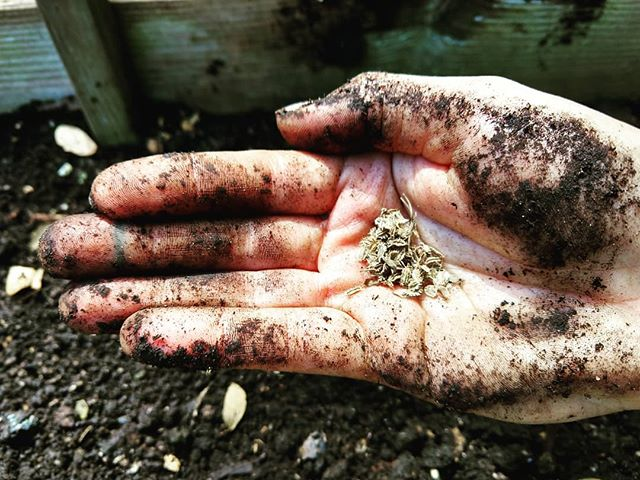 Communing with soil microbes today. . . . #soilhealth #microbes #seeds #carrots #ainamomona