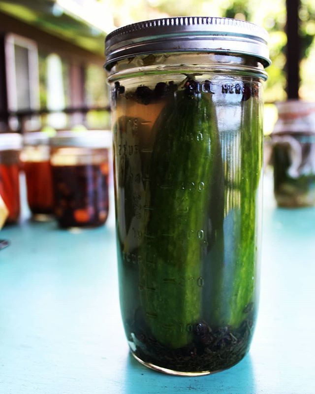 The trick I've found to keeping cucumber pickles crunchy is green tea 🌱 I add a spoonful of sencha leaves to my pickles during lacto fermentation and the tannins hello to keep them crisp. . . . #lactofermentation #wildfermentation #pickles #fermenttips #sencha #greentea #tannins #cucumber #hawaiigrown