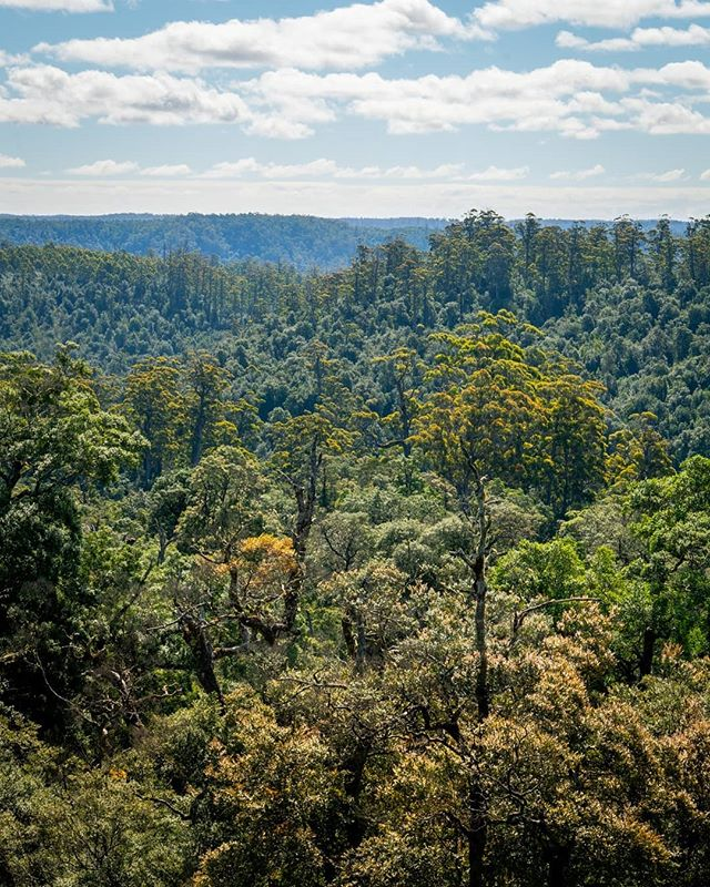 Devastated to hear that activists are being arrested in Tasmania's Tarkine region and the chainsaws are not far off moving in. @coraliejf and I spent four days in the blockade camp last Christmas and were fortunate enough to experience some of the stunning wilderness and meet the wonderful people working to keep it safe. The loss of an area like this is an absolute tragedy, being an extremely rare pocket of temperate eucalypt rainforest. Logging companies and the government love to hide behind the excuse 'it'll grow back', but the reality is that for the eucalypts to become rainforest it takes HUNDREDS of years of perfect conditions for the microclimate to form. These places are irreplaceable. For reference, the portaledge in the photo is a bed frame to give you perspective on just how massive these trees are. They're tagged to become woodchip unless action is taken to stop it. If you have 1 minute and can spare some dollars, then the Bob Brown Foundation do legitimately amazing work on the ground organising peaceful protests and community action to keep these places safe - the link is in my bio.