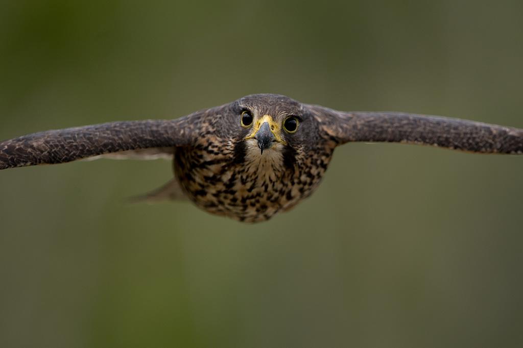 Falcon by Craig McKenzie