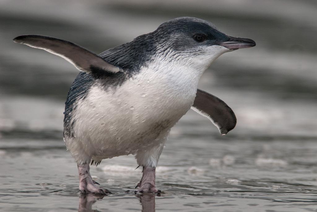 Little Blue Penguin by Craig McKenzie