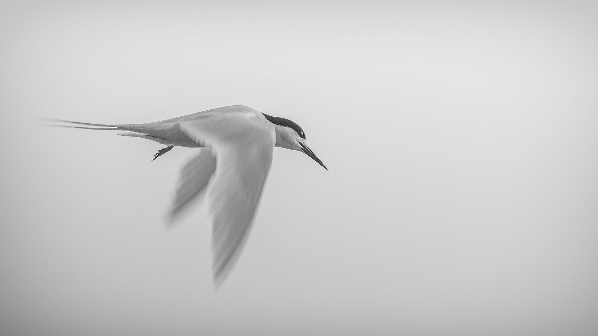 White Fronted Tern by Andy Thompson