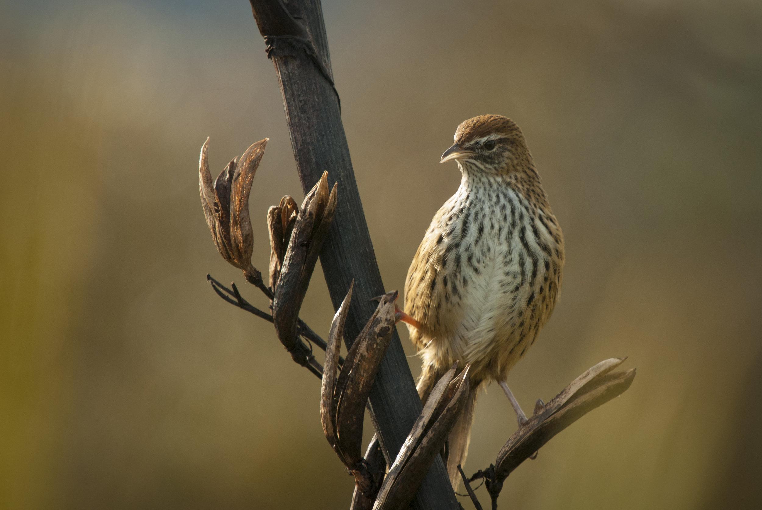 Fernbird by Craig McKenzie