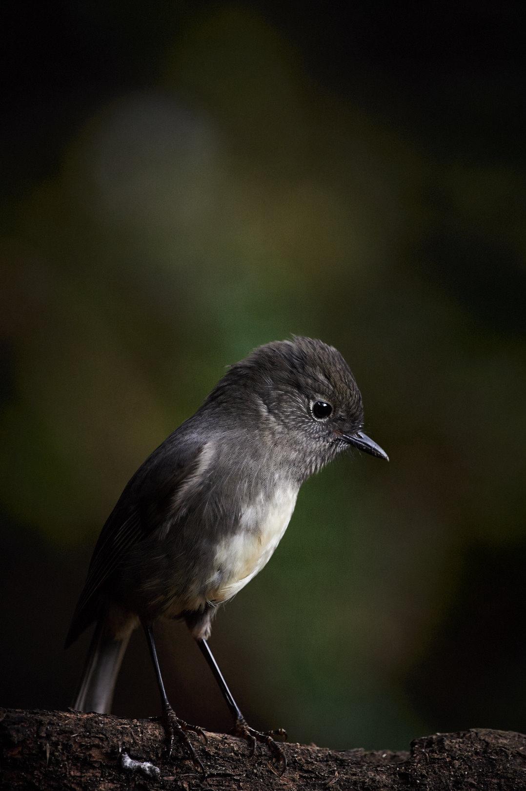 South Island Robin by Craig McKenzie