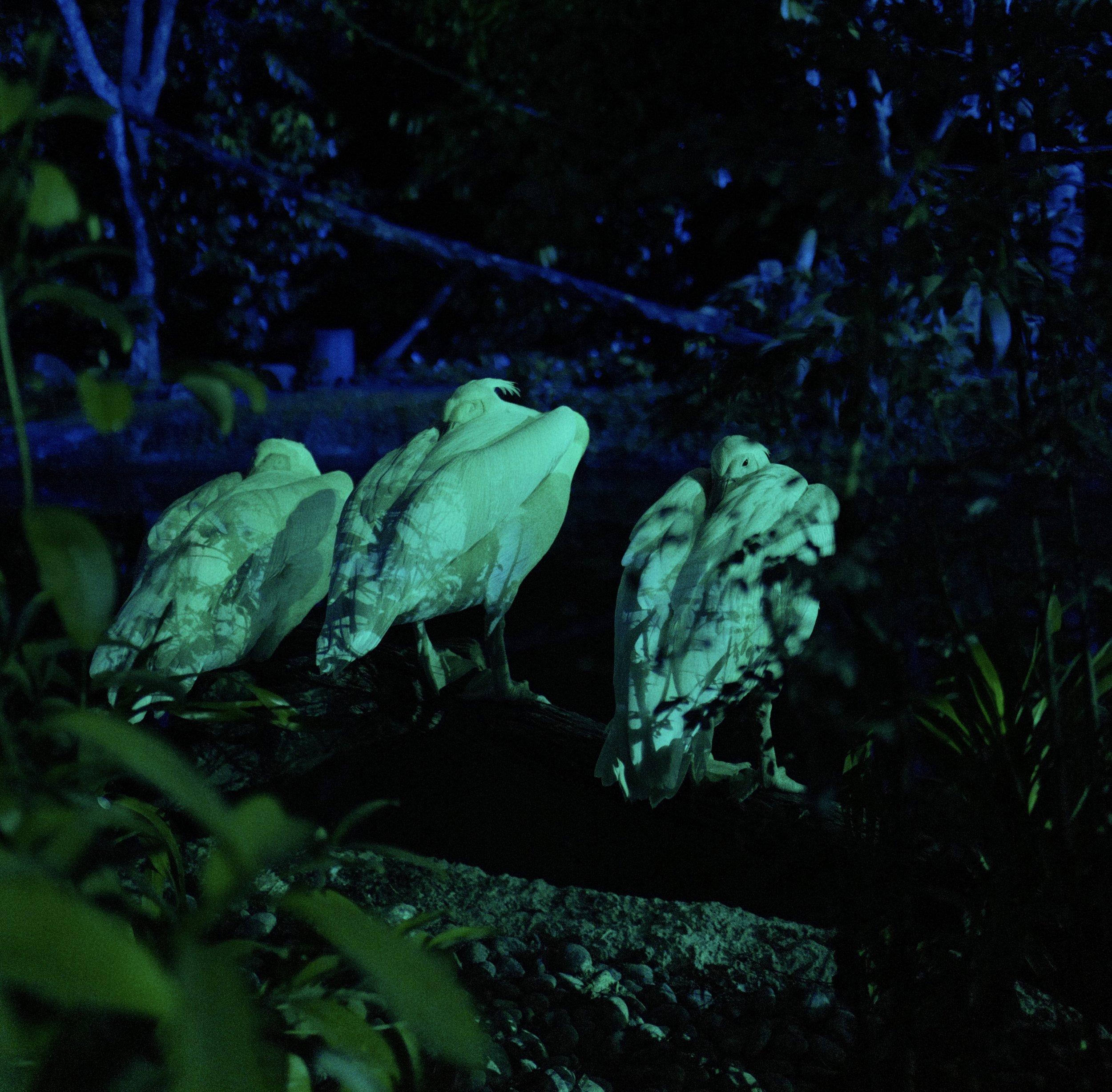 Pelicans at the    Night Safari