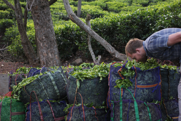 Freshly plucked tea before it is sent to the factory for processing.
