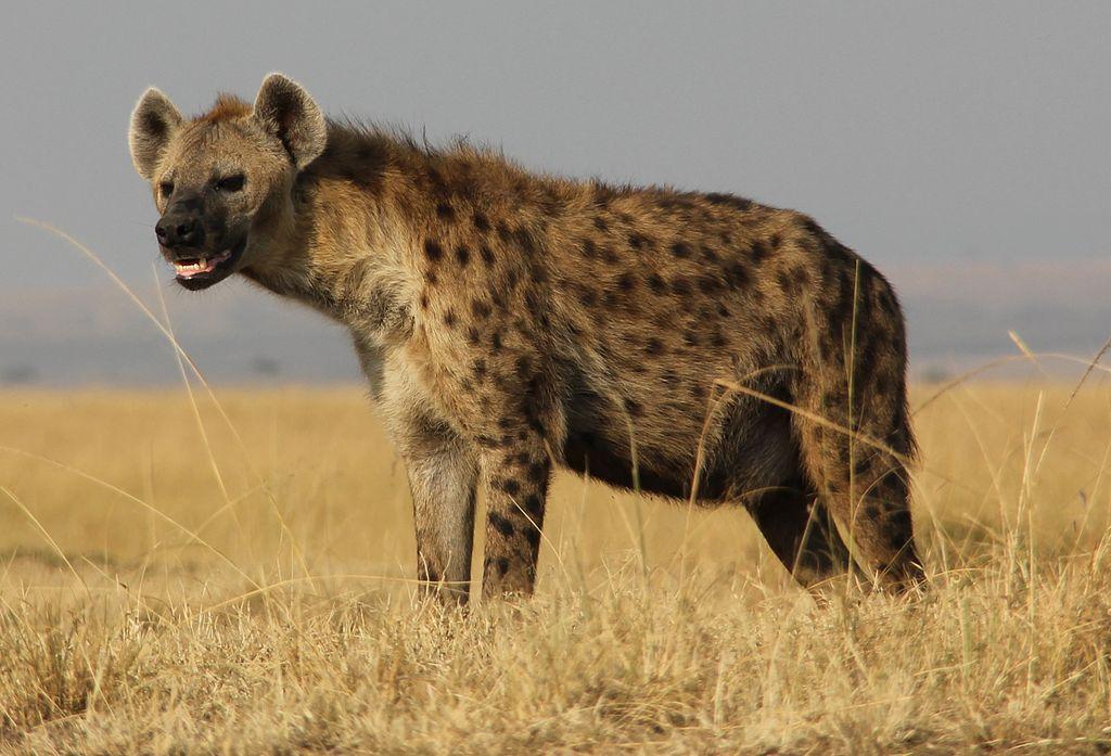 Stupid hyena. By Liaka ac [CC BY-SA 2.0 (http://creativecommons.org/licenses/by-sa/2.0)], via Wikimedia Commons