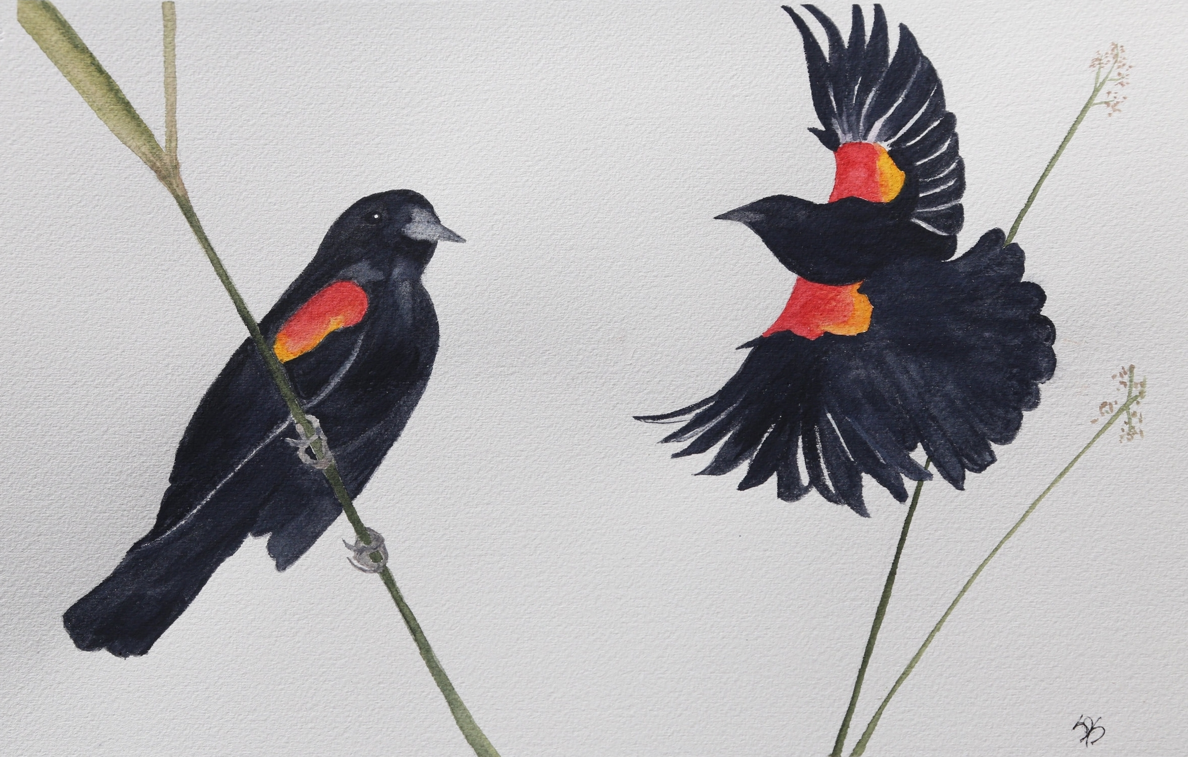 Snyder-Red-winged Blackbird.jpg