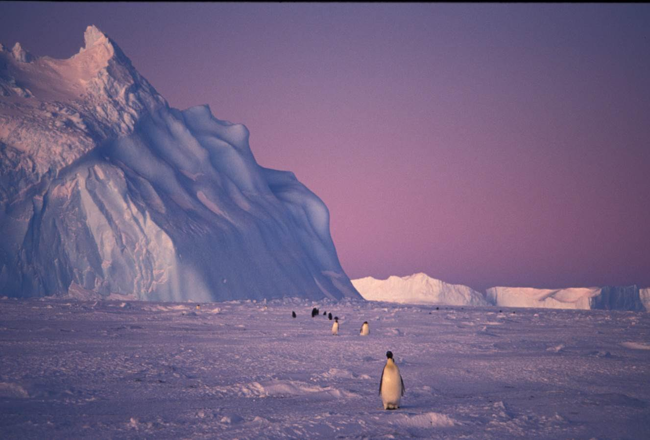 Female Emperor Penguins,  returning from the ocean towards the end of winter. Photo: Kieran Lawton