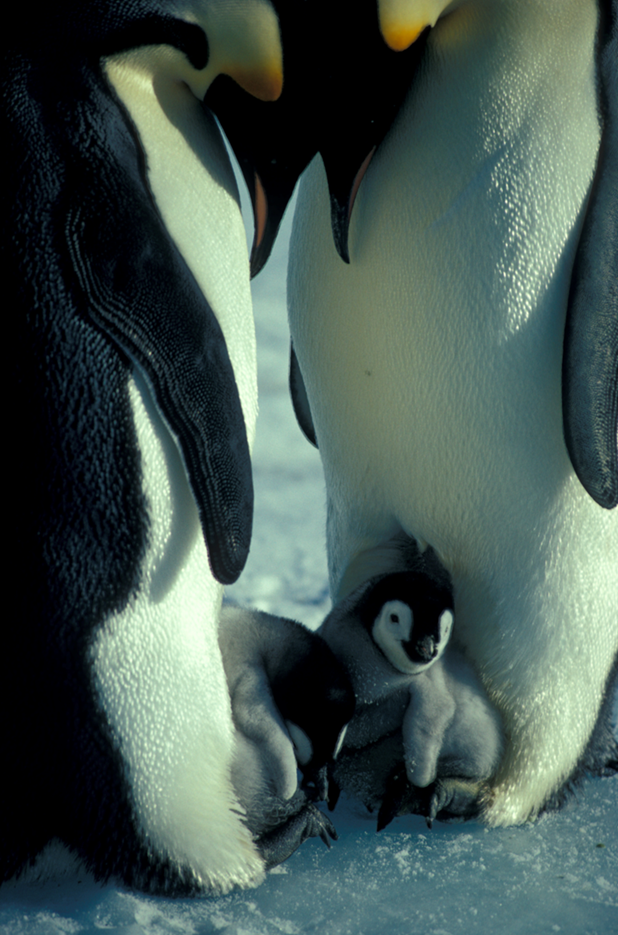 Emperor Penguin chicks on the foot in spring. Photo: Kieran Lawton