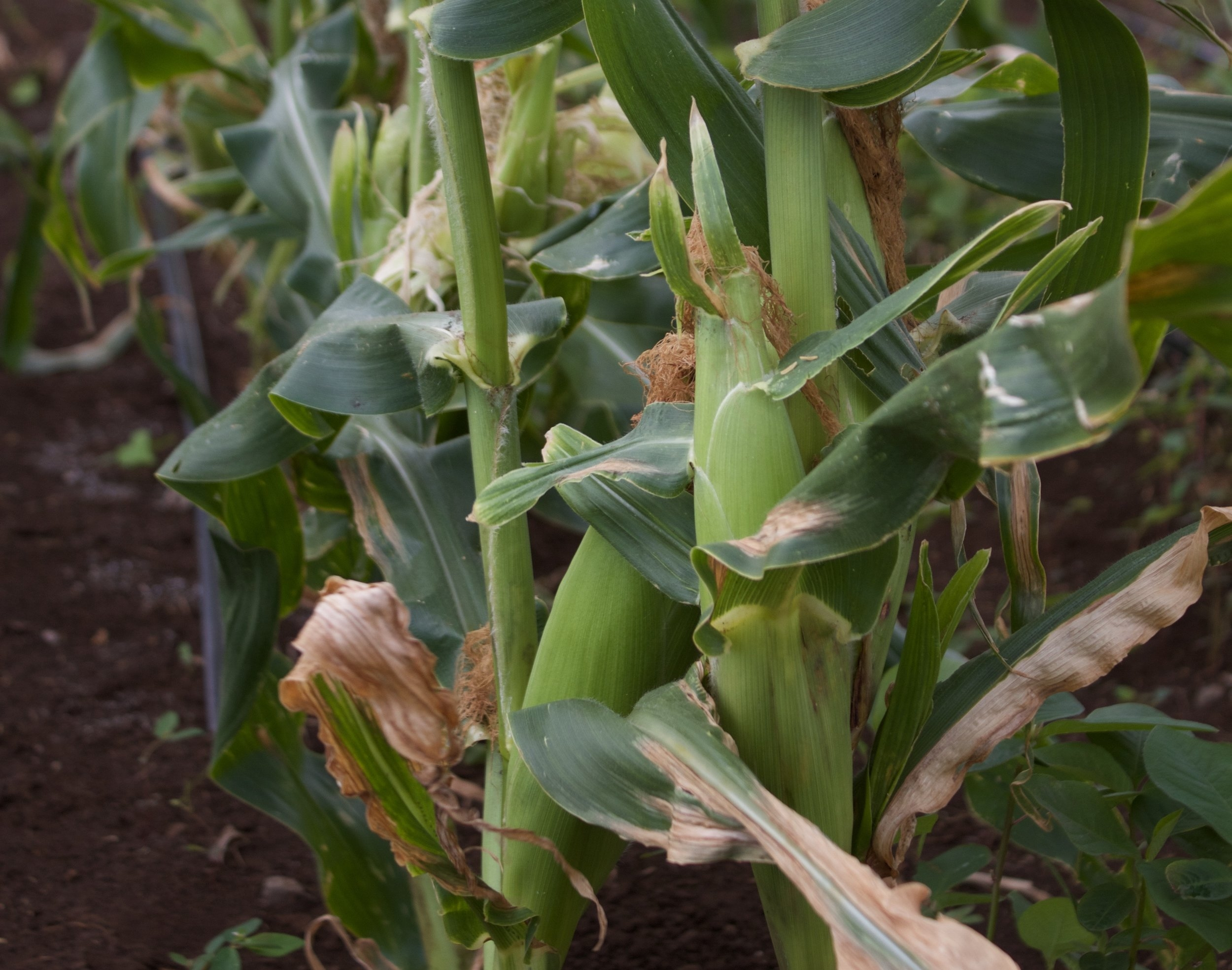 Dakota Super Sweet Corn - Non-GMO & always picked fresh