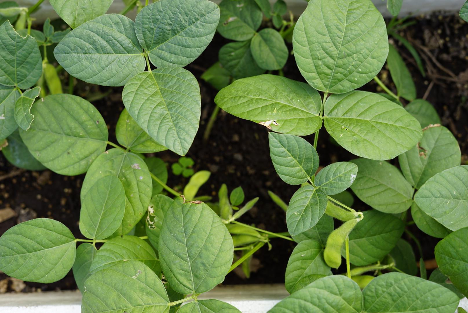 Soy Beans - Non-GMO & always picked fresh