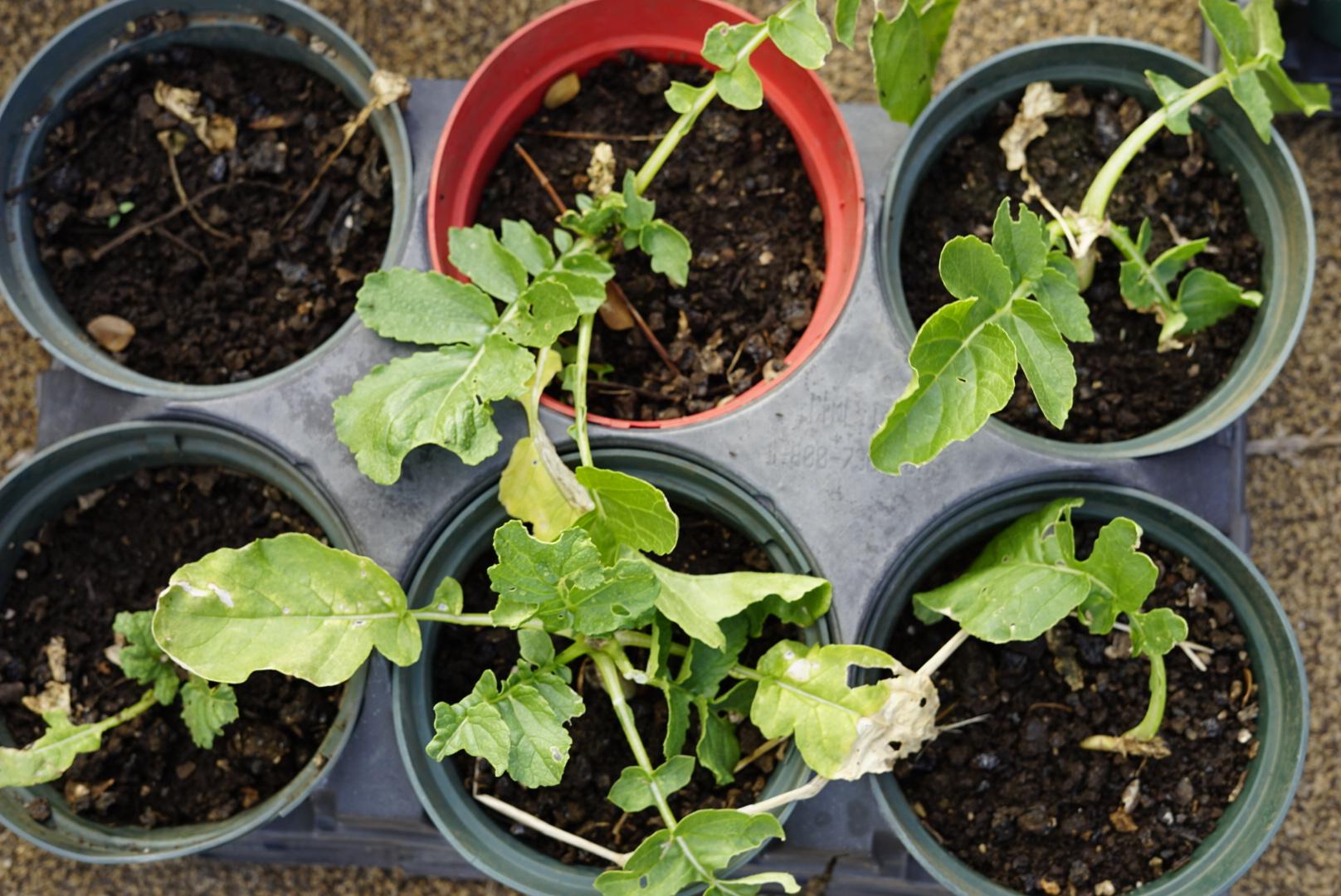 Watermelon Turnip - Non-GMO & always picked fresh