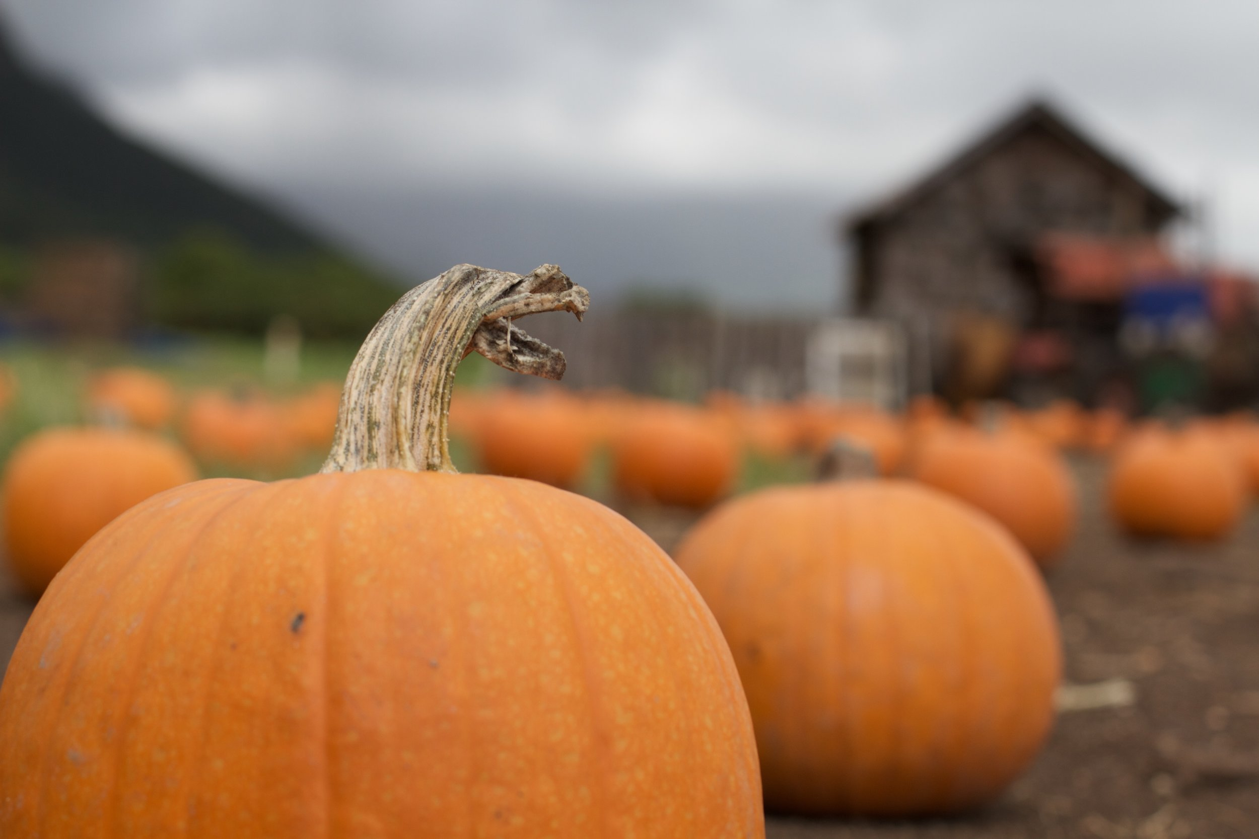 Pumpkins - From pie pumpkins to giant ones, you can find these during our pumpkin patch throughout October.