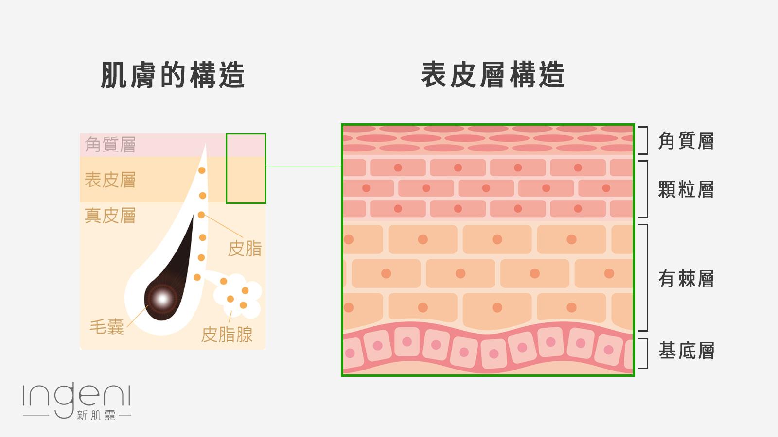 肌膚與表皮層構造.jpg