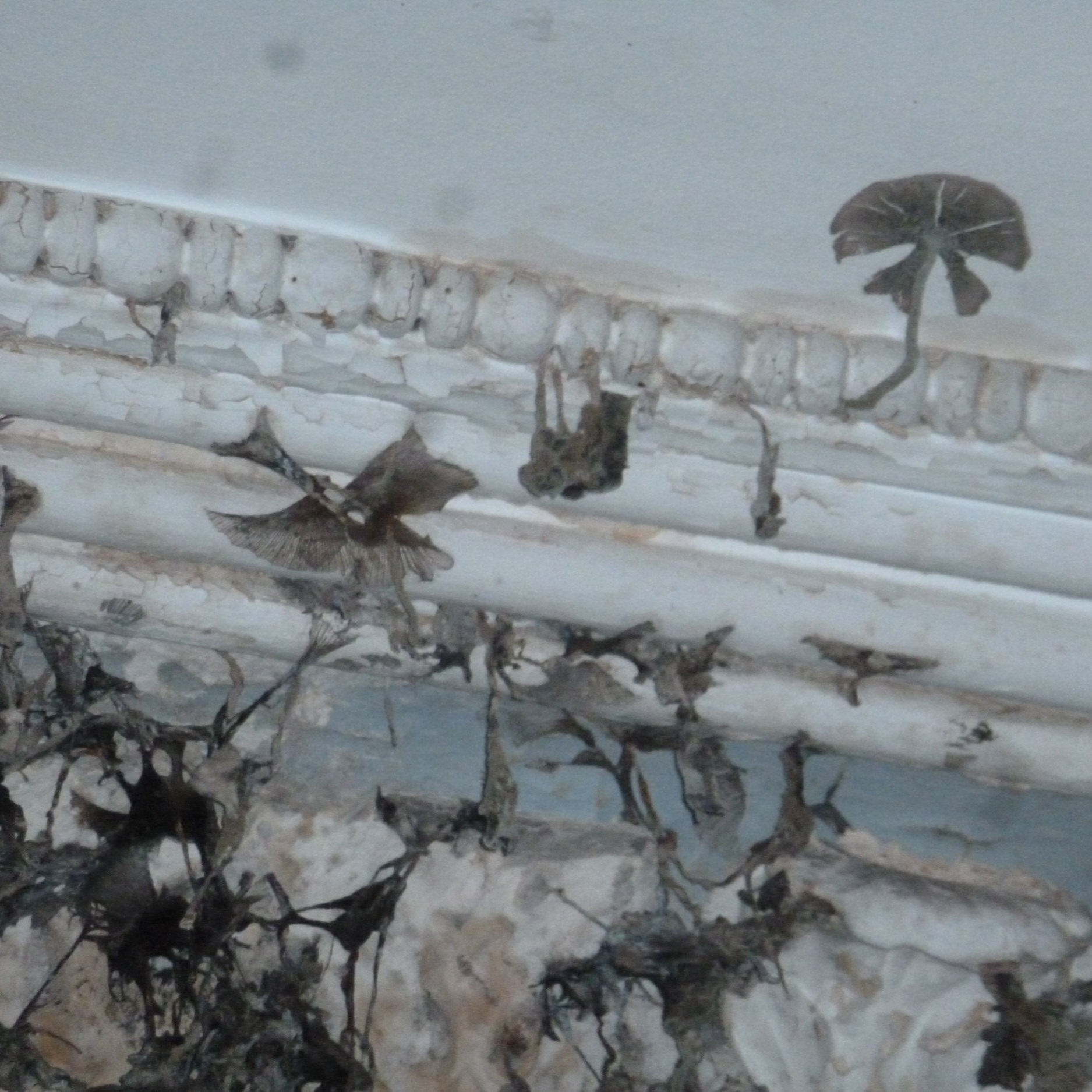 Ink Cap fungus, over principal stair. Ink cap fungus does not attack structural members but concentrates on lath work effecting the condition of the plaster ceiling