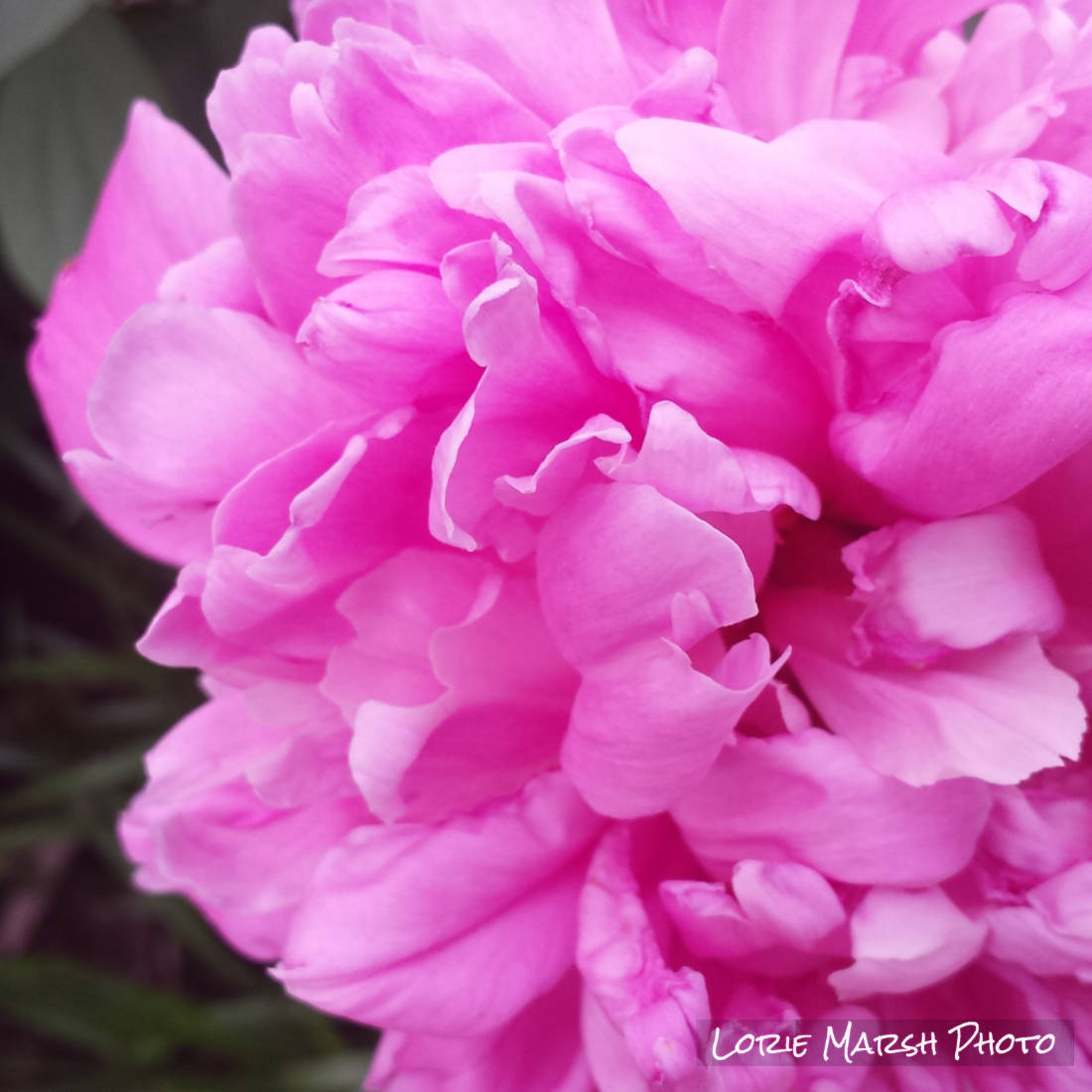 PeonyPink-Square-Sample.jpg