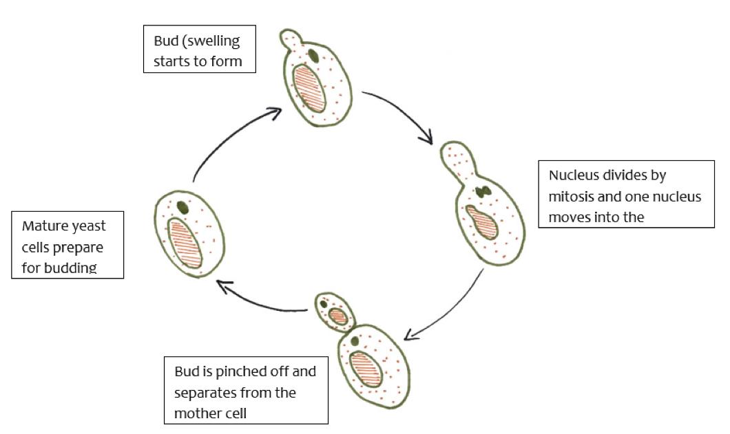 Figura 2A Reproducción asexual en levadura (mitosis)
