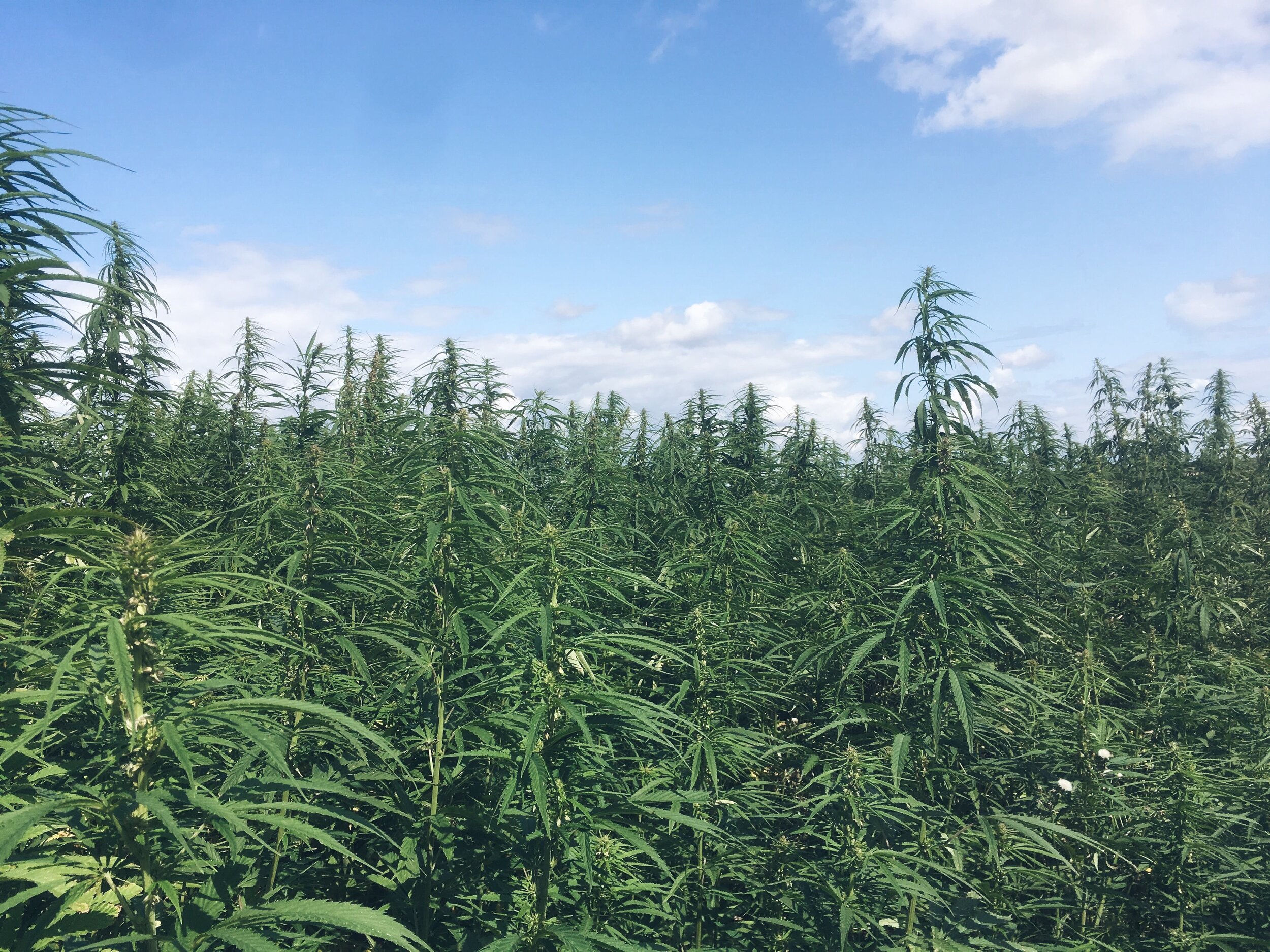 Hemp growing at Margent Farm, Cambridgeshire, UK.
