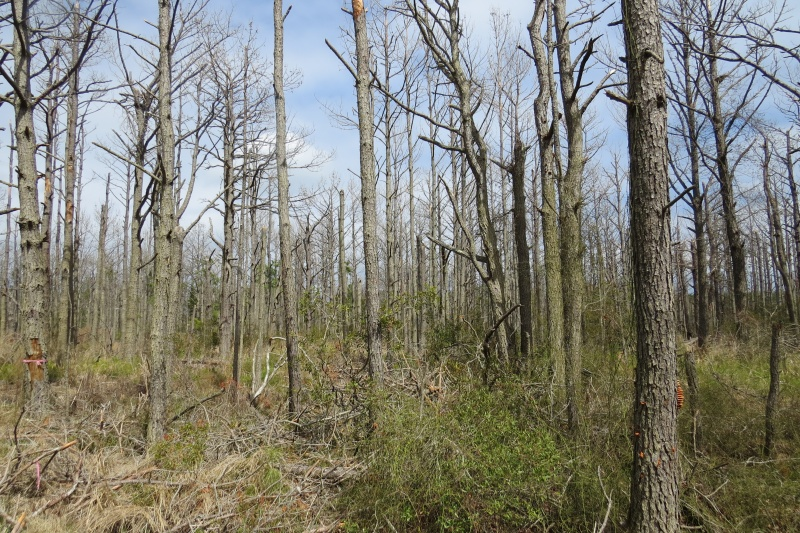 Southern pine beetles have wreaked havoc on the island trees.