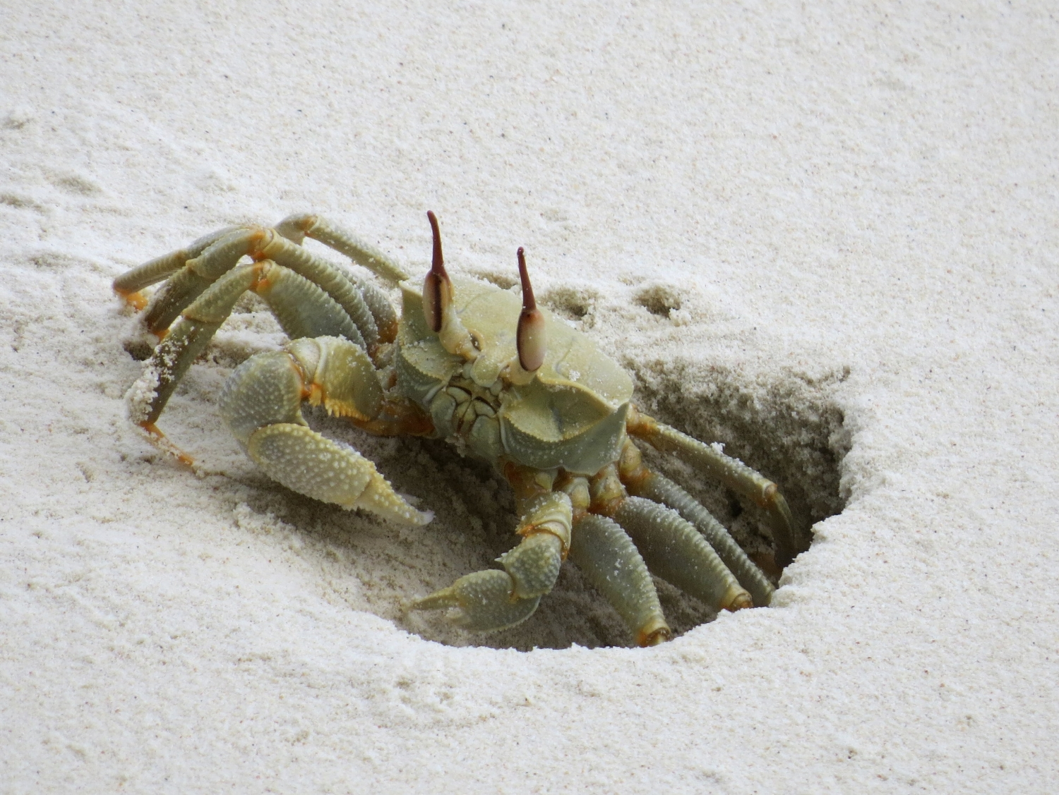 Ghost crabs on Direction Island