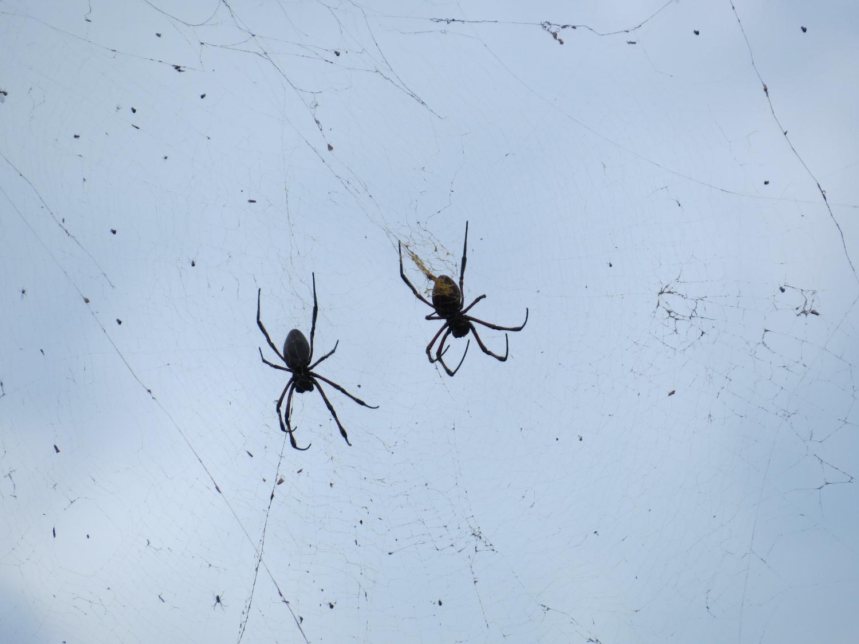 Nephila inaurata - Big spiders, yuck!
