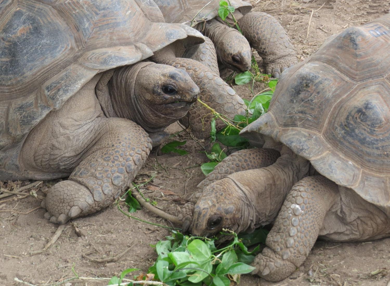 Giant aldabra tortoises eating lunch.