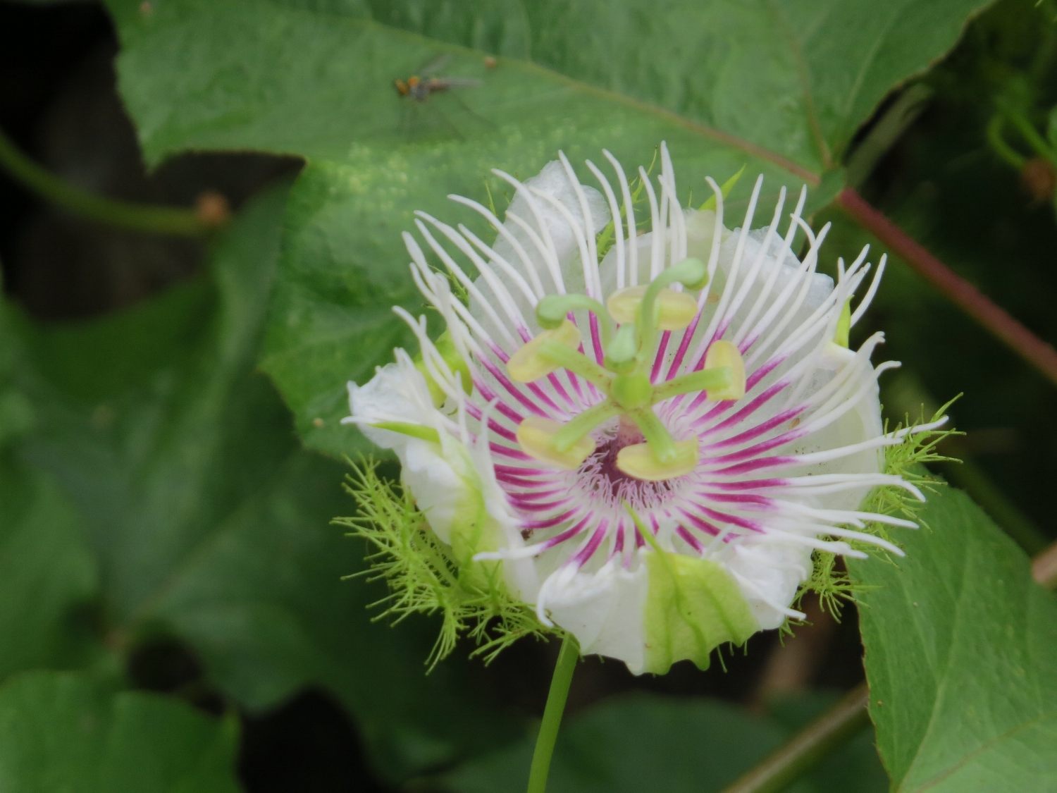 Passion flower, maybe?