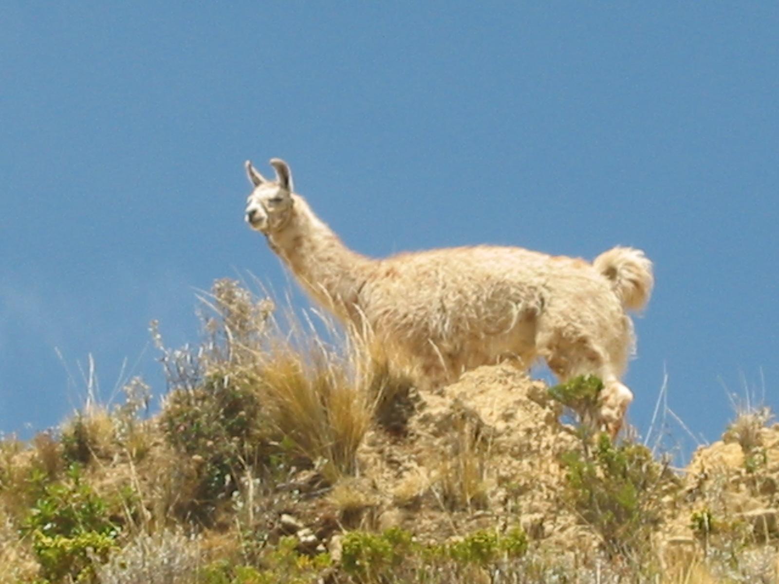 Alpaca roam freely on the island.
