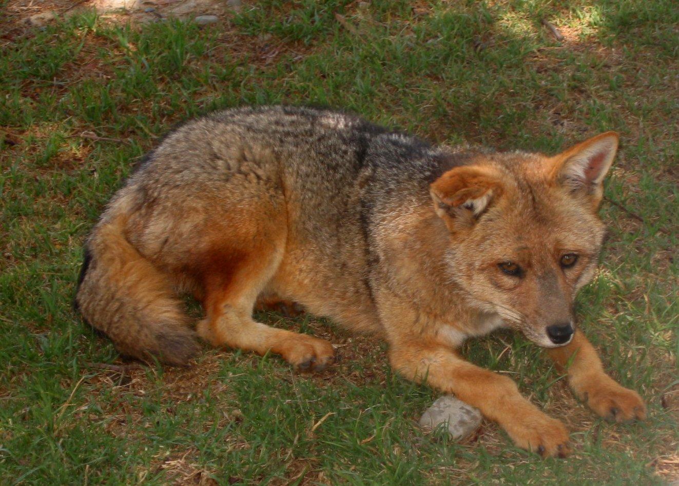 El zorro - a sad-looking fox