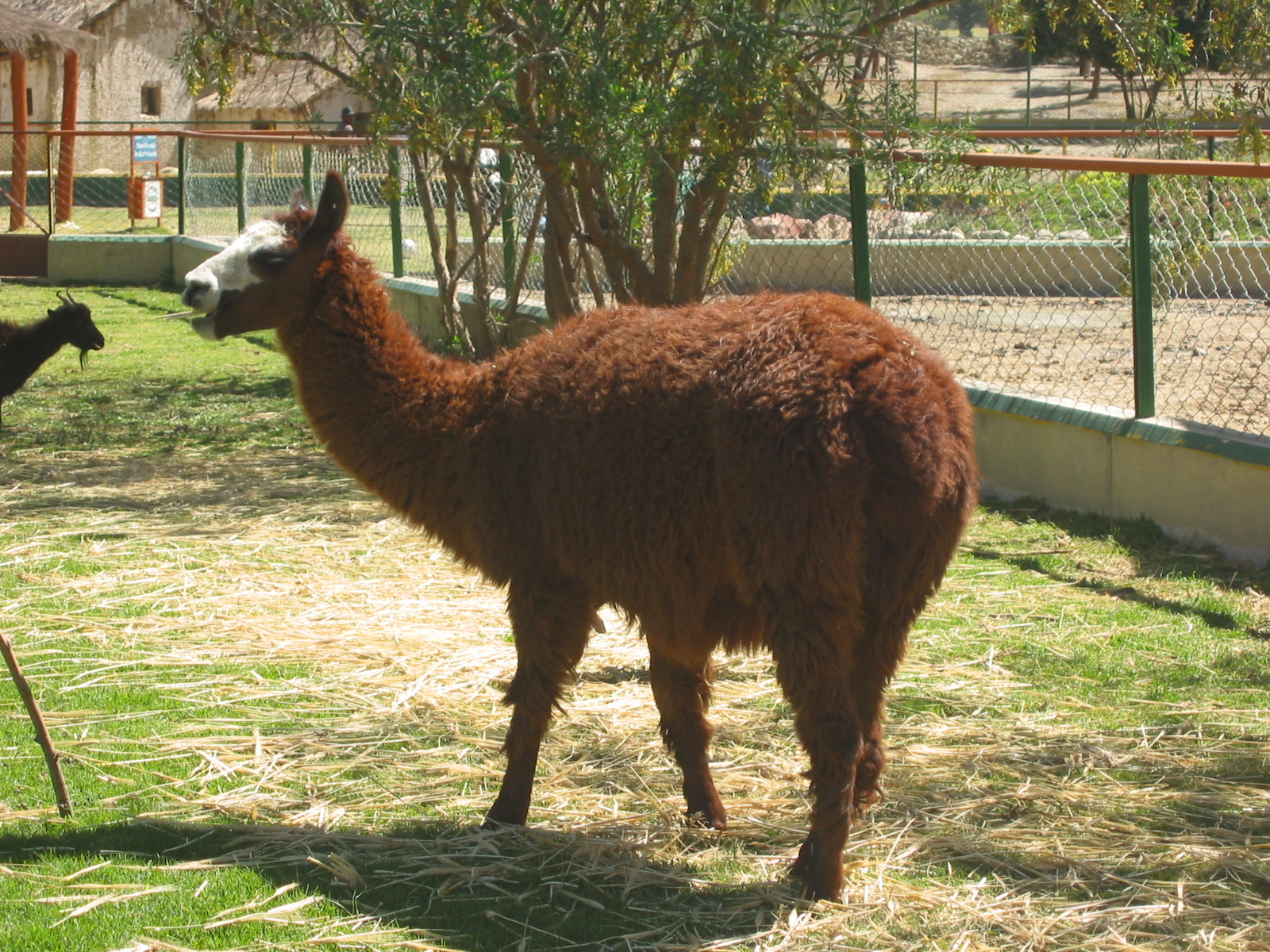 Guanaco - largest South American camelid